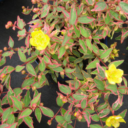 Hypericum × moserianum...