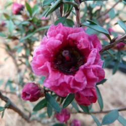 Leptospermum scoparium...