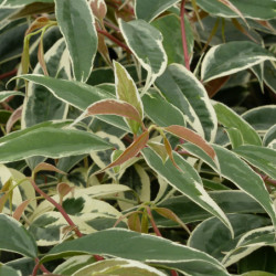 Leucothoe fontanesiana...