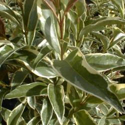 Ligustrum lucidum 'Tricolor'