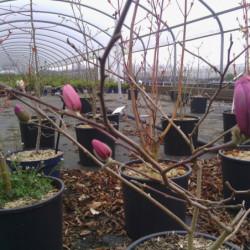 Magnolia stellata...