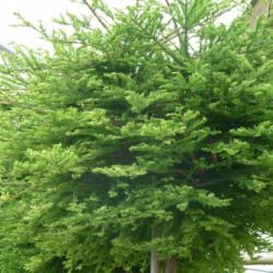 Metasequoia...