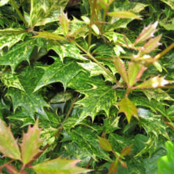 Osmanthus heterophyllus...