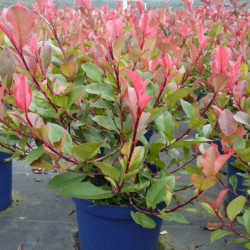 Photinia × fraseri 'Little...