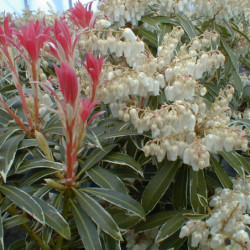 Pieris japonica 'Flaming...