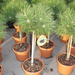 Pinus nigra 'Brepo'...