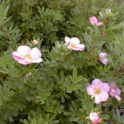 Potentilla fruticosa 'Pink...