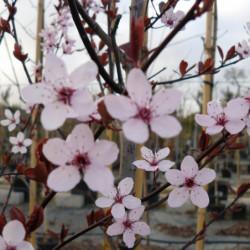 Prunus cerasifera var....