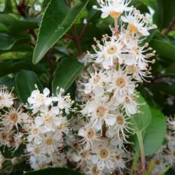 Prunus lusitanica...