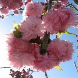 Prunus serrulata...