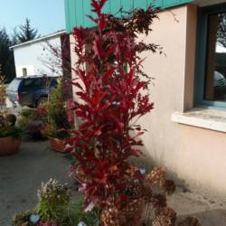 Quercus palustris...