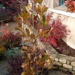 Quercus × warei 'Long'...
