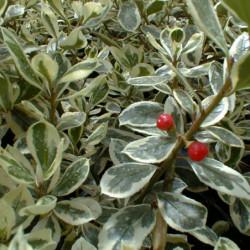 Rhamnus alaternus...