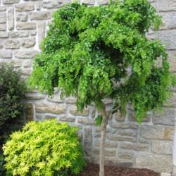 Robinia pseudoacacia 'Lace...