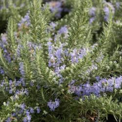 Rosmarinus officinalis...