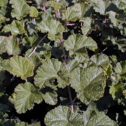 Rubus 'Betty Ashburner'