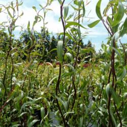Salix tortuosa 'Chocolat'
