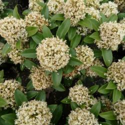 Skimmia japonica 'White Dwarf'