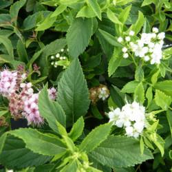 Spiraea japonica 'Genpei'