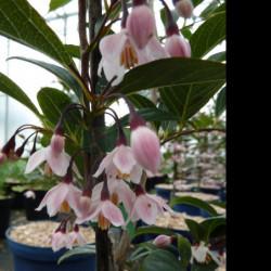 Styrax japonicus 'Pink...