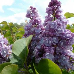 Syringa vulgaris 'Michel...