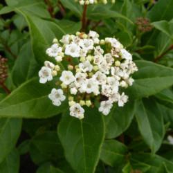 Viburnum tinus 'Quimper'