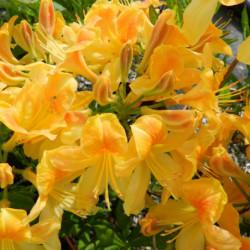 Azalea mollis 'Golden Flare'