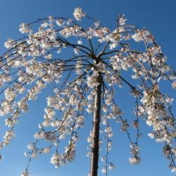 Prunus × yedoensis...