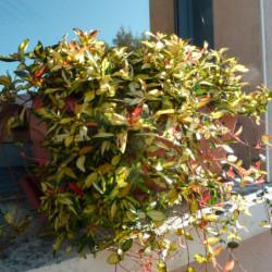 Trachelospermum asiaticum...