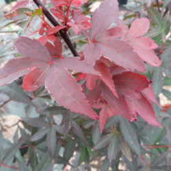 Acer palmatum 'Twombly's...