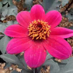 Dahlia 'Mystic Wonder' ® -...