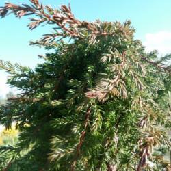 Juniperus communis...