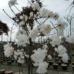 Magnolia × loebneri 'Wildcat'