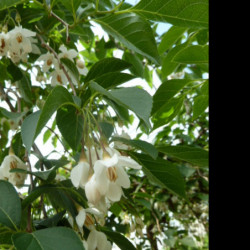 Styrax japonicus 'Fragrant...
