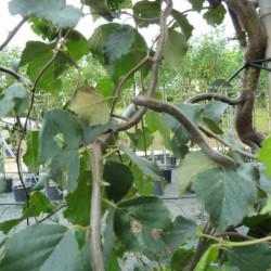 Betula pendula 'Spider Alley'