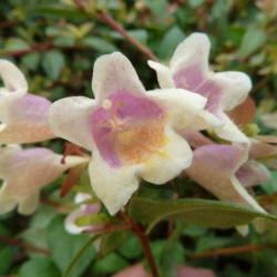 Abelia × grandiflora 'Sunny...