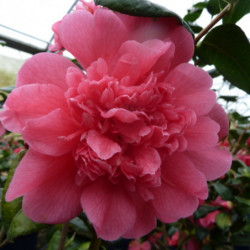 Camellia × williamsii...