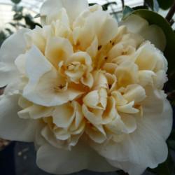 Camellia japonica...