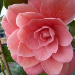 Camellia japonica 'Mrs...