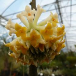 Edgeworthia chrysantha...