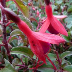 Fuchsia 'Contraste'