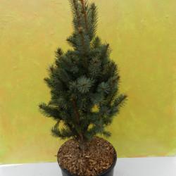 Picea pungens 'Iseli...