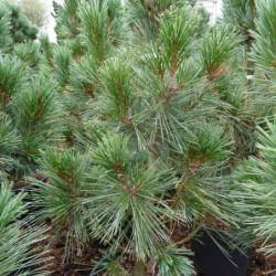 Pinus flexilis...