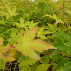 Acer palmatum 'Shin-nyo'