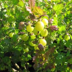 Ribes uva-crispa 'Lady...