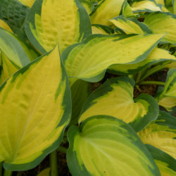 Hosta 'Orange Marmelade'