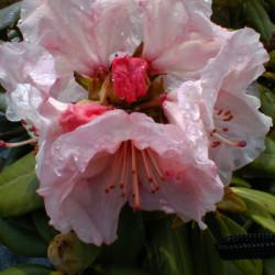 Rhododendron 'Virginia...