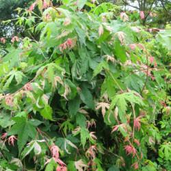 Acer palmatum 'Oridono...