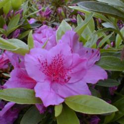Azalea japonica 'Purple...