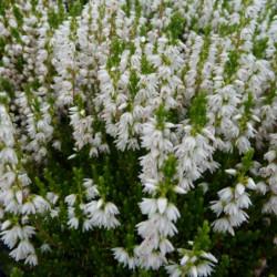 Calluna vulgaris 'Stefanie'